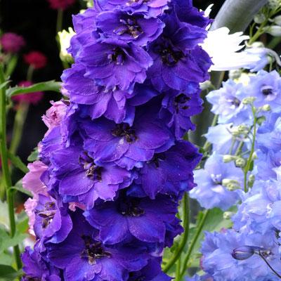 Delphinum 'Pagan Purples'