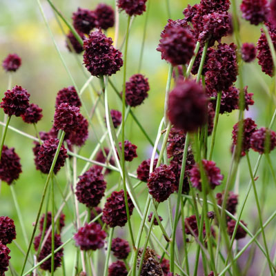 Sanguisorba 'Chocolate Tip'