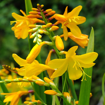 Crocosmia x crocosmiiflora 'Buttercup'