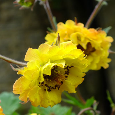 Geum 'Can-can'