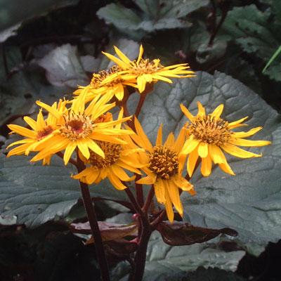Ligularia 'Britt Marie Crawford'
