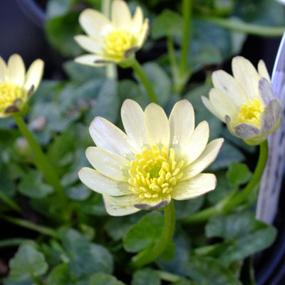 Ficaria verna Randall's White' (Ranunculus ficaria)