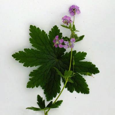 Geranium x monacense var anglicum