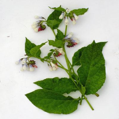 Symphytum ibericum 'Lilacinum'