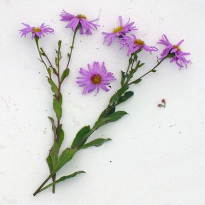 Aster amellus 'Pink Zenith' (Aster amellus 'Rosa Erfüllung')