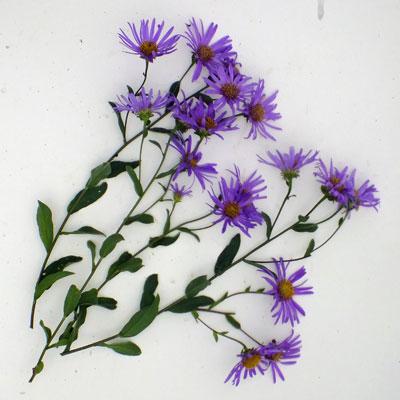 Aster amellus 'Veilchenkonigin' ('Violet Queen')