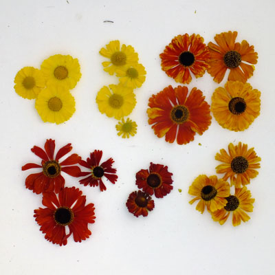 Heleniums compared