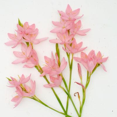 Hesperantha coccinea 'Jennifer' (Schizostylis)