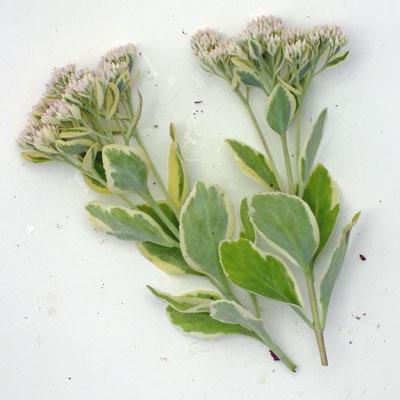 Sedum erythrostictum 'Frosty Morn'