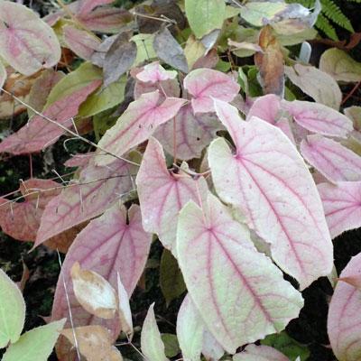Epimedium franchetii 'Brimstone Butterfly' OG 87.001