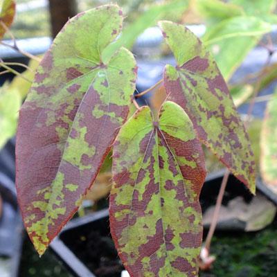 Epimedium myrianthum