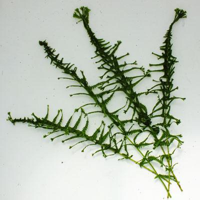 Athyrium filix-femina 'Victoriae'
