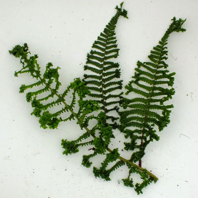Dryopteris affinis 'Cristata' ('Cristata The King')