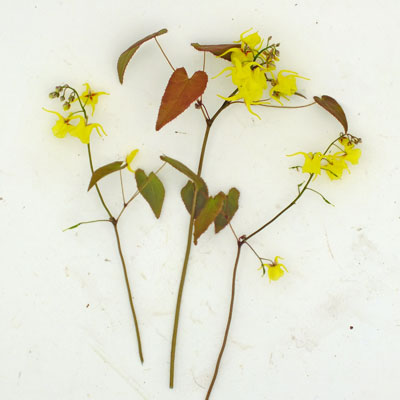Epimedium davidii hybrid Ex Spinners