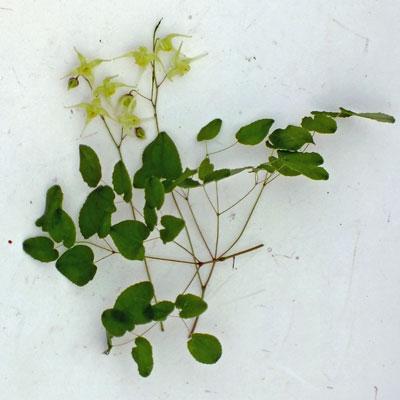 Epimedium grandiflorum 'Yellow Princess'