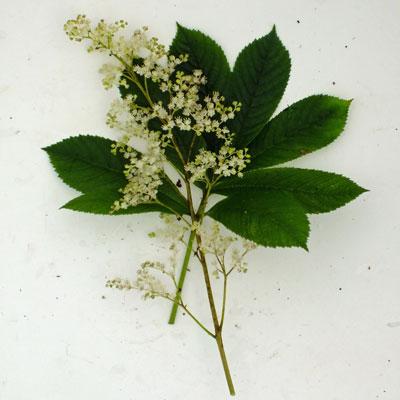 Rodgersia aesculifolia hybrid ?