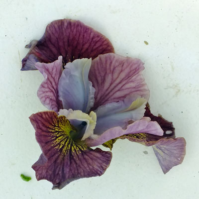 Iris 'Painted Woman'