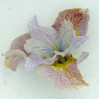 iris 'Pretty Polly'
