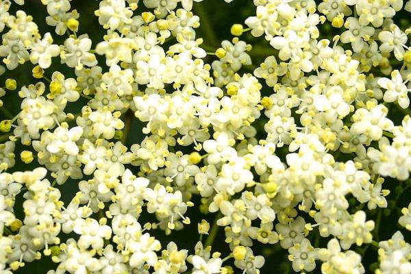Elderflower close up