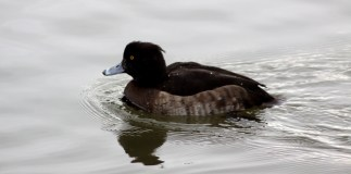 A tufted duck.
