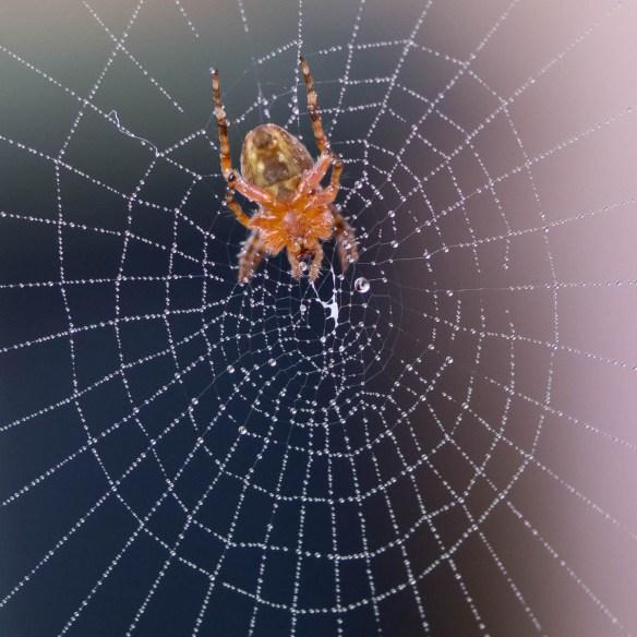 Wasser Spinne Makroaufnahme