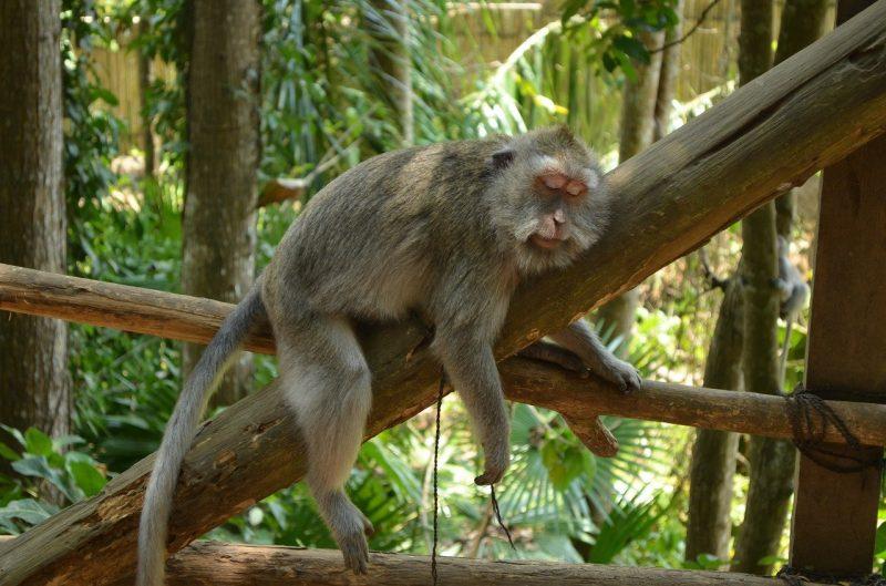 destinasi wisata monkey forest bedugul