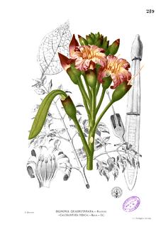 Indian Trumpet Flower
