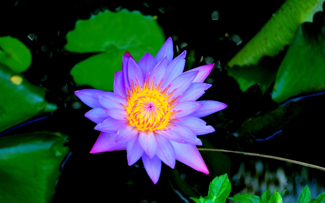 Indian Blue Water Lily