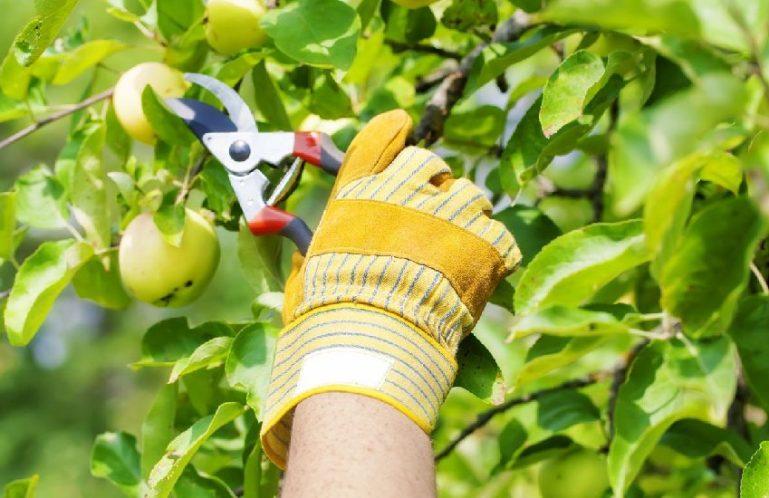 Несколько слов об обрезке плодовых деревьев