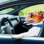 Что нужно знать о перевозке домашних животных в автомобиле?