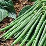 Как правильно выращивать фасоль?