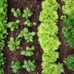 Как правильно посадить овощи друг с другом