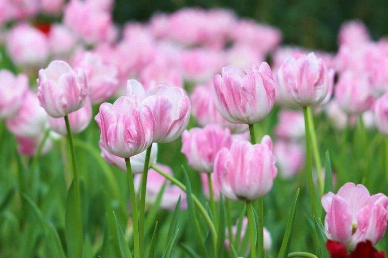 Выгонка тюльпанов в домашних условиях и на клумбе