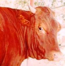 """Résultat de recherche d'images pour """"photos d'une vache rousse avec des cornes"""""""