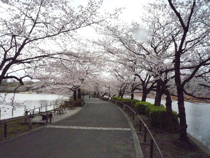 上野不忍池の桜