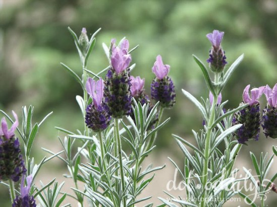 Lavender photo Maria Larsson