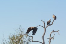 Abrutes (Lappet-Face Vulture and White-Backed Vulture)