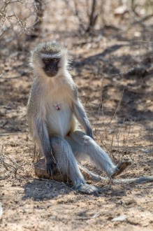 Macacos (Vervet Monkey)