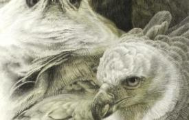 harpy_eagle_potraits_detail