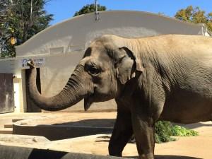 王子動物園のゾウ