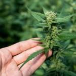 Cannabis Light: Morte di un Business?