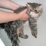 Washing the Cats