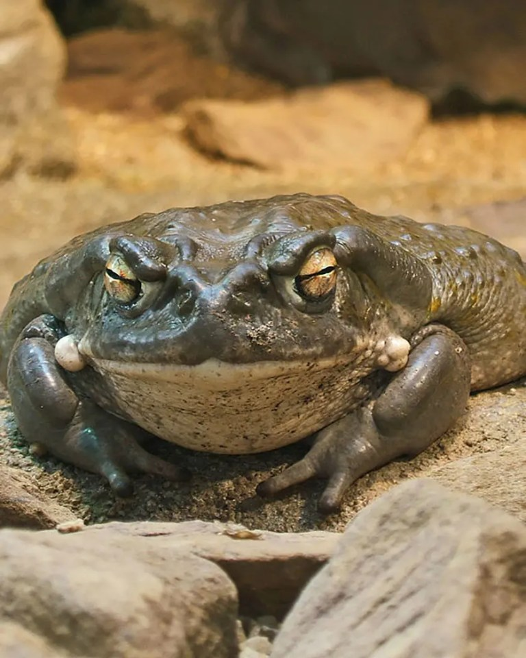 Colorado River Toad (Bufo alvarius) via Wikimedia Commons.