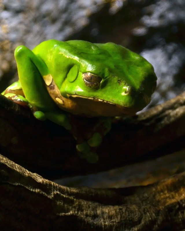 DoubleBlind: Giant monkey frog (Phyllomedusa bicolor). In this article, DoubleBlind explores kambo treatment, how it works, and whether or not it is safe.