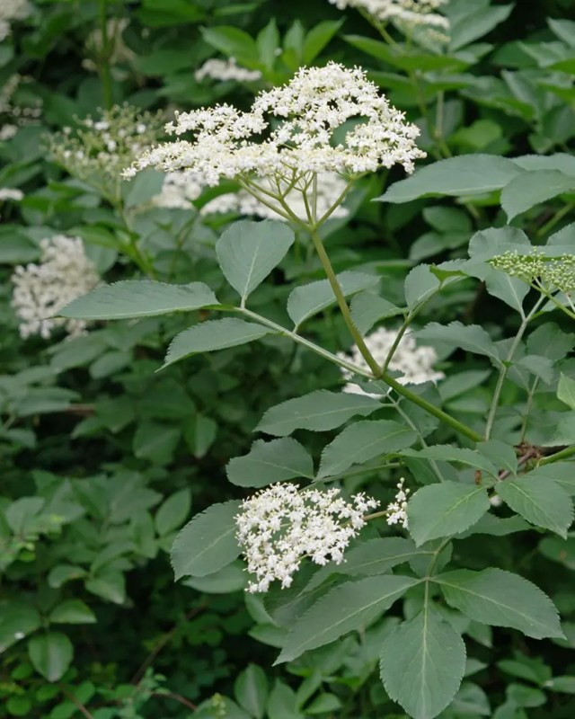DoubleBlind: Image Elderflower. In this article, DoubleBlind explores herbs that can be helpful during a psychedelic trip.