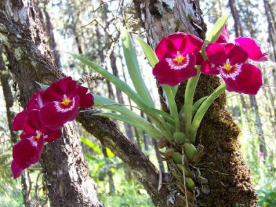 Summer Time Orchids Blooming in the Hawaiian Rainforest ...