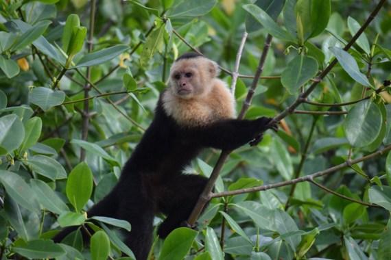 Capuchin_DoubleChinDiary