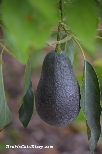 DoubleChinDiary_AvocadoOnTree