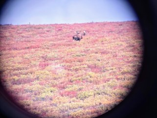 moose in scope