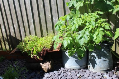 Old tool box with holes drilled in it used for growing salad. Old metal jug and mop bucket for growing potatoes
